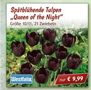 """Spätblühende Tulpen """"Queen of the Night"""""""